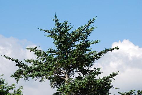 シラビソの木