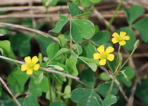 黄色い花のカタバミ