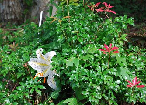 ヤマユリが咲き始めた