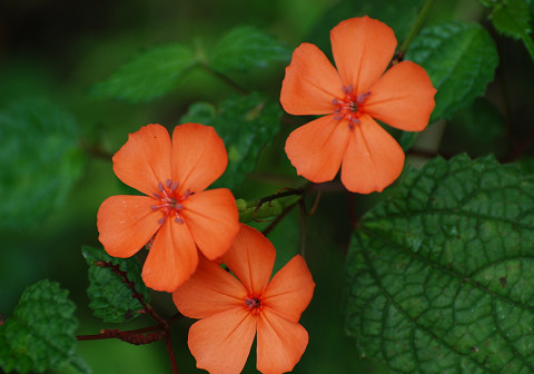 フシグロセンノウの花1