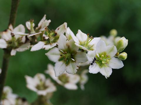 バイケイソウの花をアップ