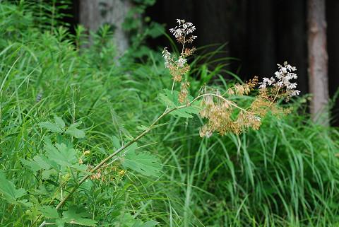 タケニグサの花1