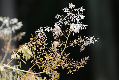 タケニグサの花2