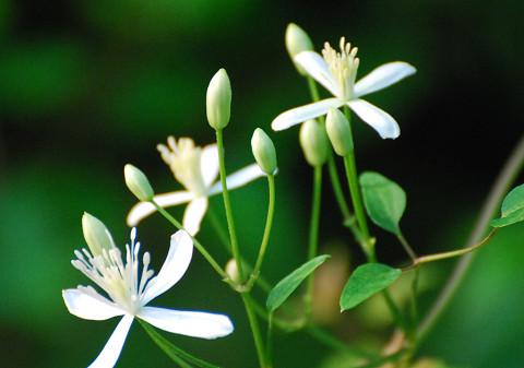 センニンソウの花が