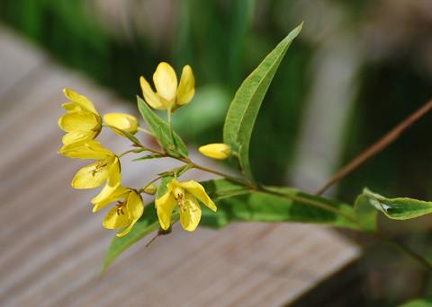 開いたクサレダマの花