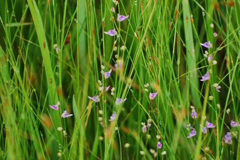 ムラサキミミカキグサの花が