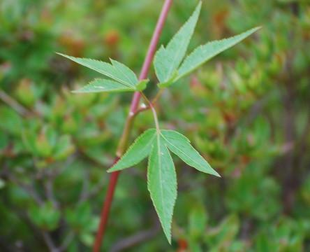 オオハナウドの葉が