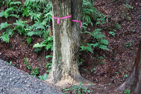 ナラ枯れの被害樹