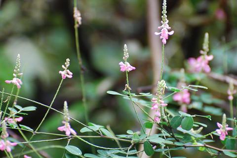 コマツナギの花が