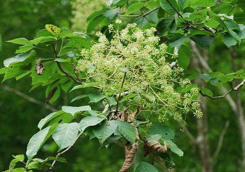 コシアブラに花2