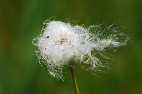 ワタスゲの穂がきれい