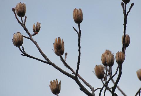 枯れたユリノキの花