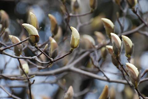 コブシの花芽が