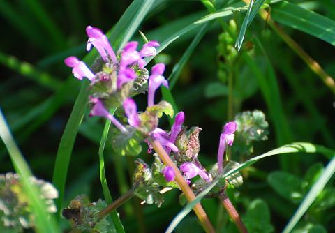 ホトケノザの花が