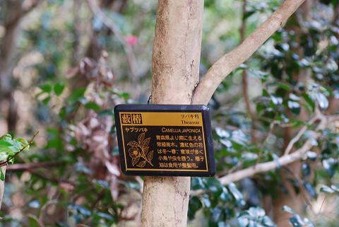 ヤブツバキの幹と看板