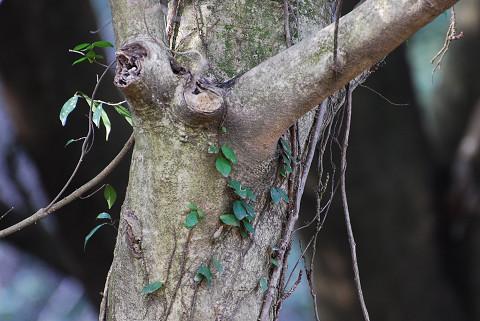 クロガネモチの幹木肌