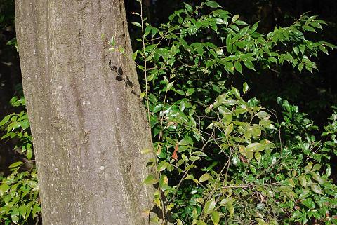 ツブラジイの幹と葉は