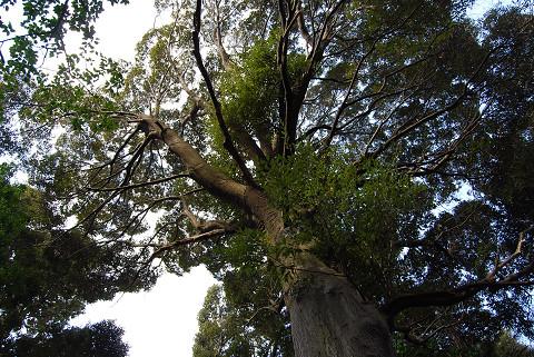 ツブラジイの巨木を