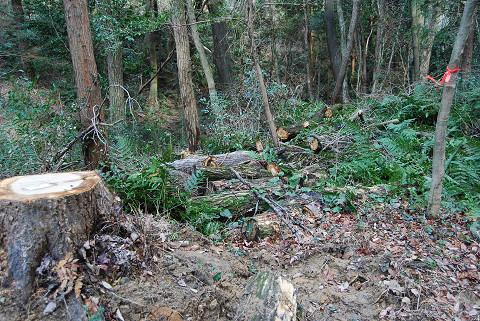 キクイムシのコナラの伐採