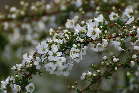 ユキヤナギの花は