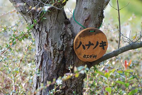 ハナノキの木肌を