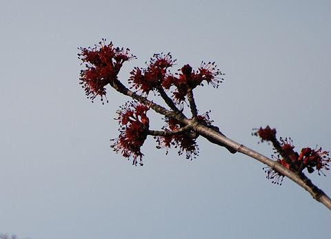 ハナノキの花は
