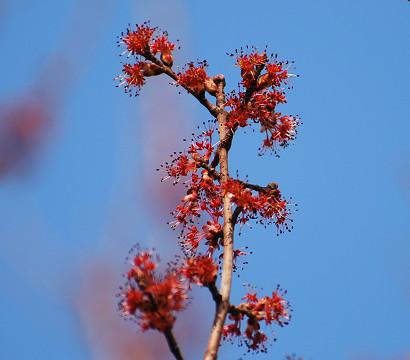 紅いハナノキの花