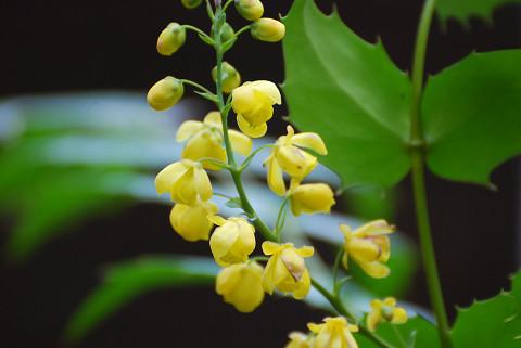 黄色いヒイラギの花