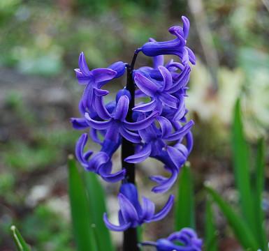 ヒヤシンスの花は