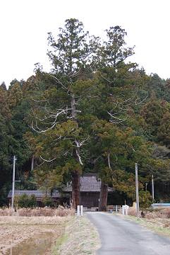 白鳥神社の大杉が