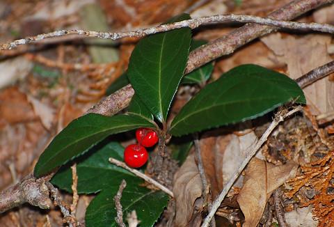 ツルリンドウの赤い実が