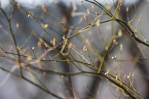 クロモジの冬芽は