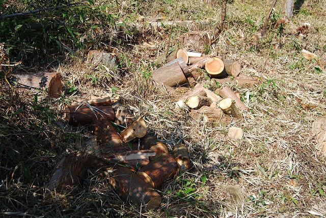 切り倒された杉