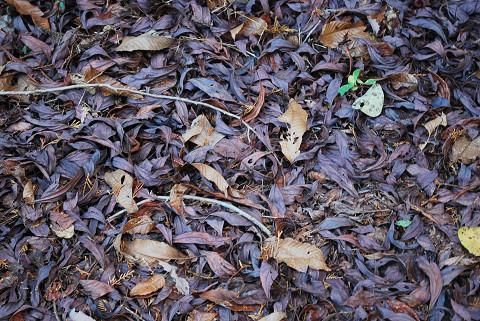 カナクギノキの紫色の枯葉