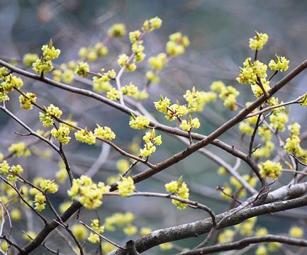 シロモジの花