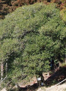 ヒイラギの銘木