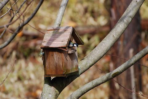シジュウカラが巣箱へ2