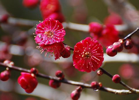 咲いたコウバイ
