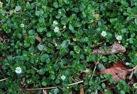 ハコベの開花