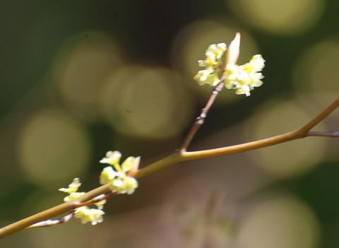 咲いたシロモジの花
