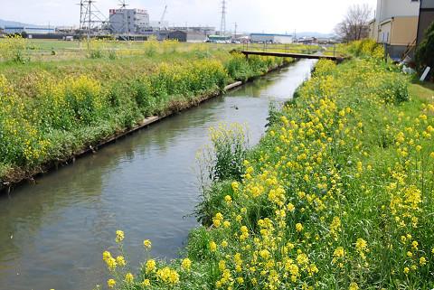 鹿乗川の菜の花1