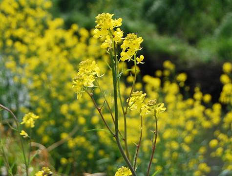 鹿乗川の菜の花2