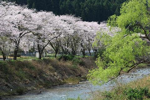 浦川のサクラ2