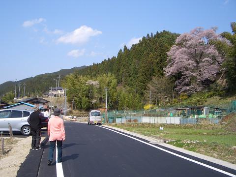 新田のサクラ1