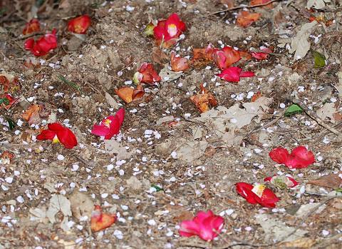 ヤブツバキの花と桜吹雪