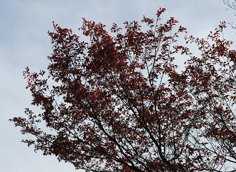 赤い葉のヤマザクラ