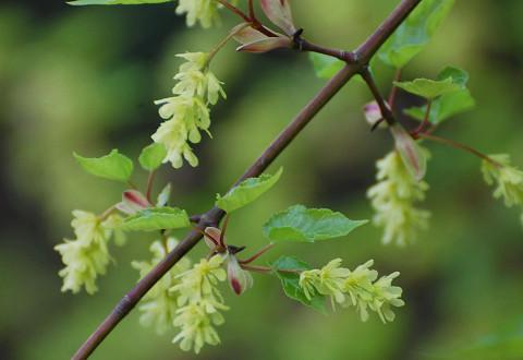 ウリカエデの花