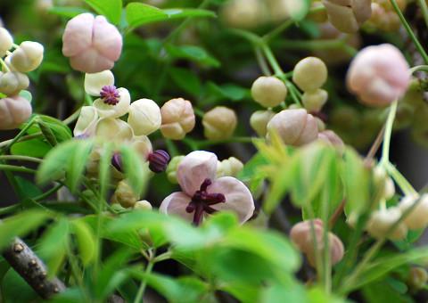 白いアケビの花