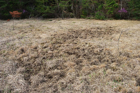 イノシシにやられた湿地
