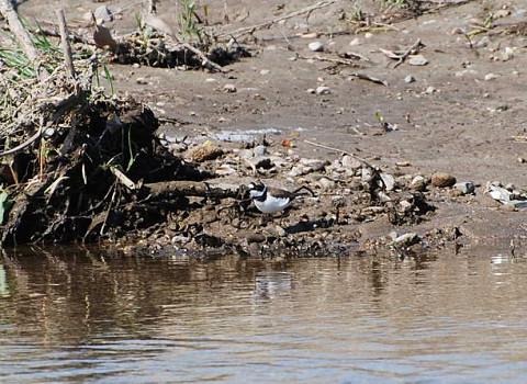 川に遊ぶセグロセキレイ